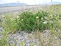 Astragalus cicer (5183009180).jpg