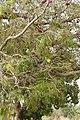 Atakora-Parkia biglobosa (3).jpg