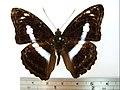 Athyma selenophora laela01.JPG