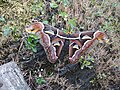 Attacus Atlas moth at Hmuifang, Mizoram 2.jpg