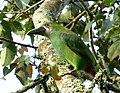 Aulacorhynchus prassinus (Tucancito esmeralda) (16087782470).jpg