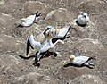 Australasian Gannet greeting mate.jpg
