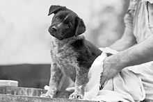 Australian Cattle Dog puppy being dried after his bath