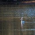Australian pelican Burke River Boulia Queensland P1030509.jpg