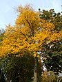 Autumn trees on Sutton Green, SUTTON, Surrey, Greater London (7).jpg