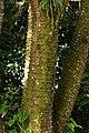 Búcaro (Erythrina fusca) (14222085630).jpg