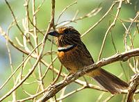BARBUDO-RAJADO ( Malacoptila striata ).jpg