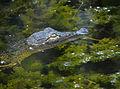 Baby Gator at Lake Woodruff - Flickr - Andrea Westmoreland.jpg