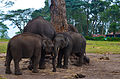 Baby elephants playing with the mother, Dubare Elephant Camp, Coorg, Karnataka.JPG