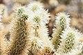 Backlit cholla cactus (19872917826).jpg