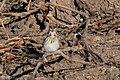 Baird's Sparrow Curly Horse Ranch Rd Sonoita AZ 2018-01-26 10-04-35 (28156725919).jpg