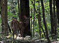 Bambi in the woods (2670078276).jpg