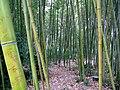 Bamboo 竹子 (5811989372).jpg