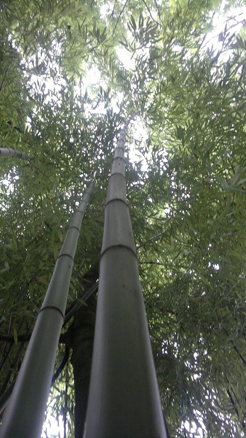 Bamboo bambou bambuseae phyllostachys VAN DEN HENDE ALAIN CC-BY-SA-4 0 210520142095.jpg