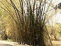 Bambusa bambos (505790981).jpg