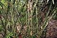 Bambusa ventricosa 0zz.jpg