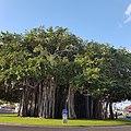 """Banian """"arbre remarquable de France """"du rond-point de la Glacière au Port.jpg"""
