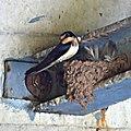 Barn Swallow Nest (5946078123).jpg