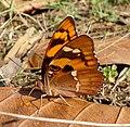 Baronet.. Euthalia nais...jpg