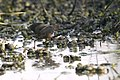 Basai Wetland Gurgaon DSC9341 rb crake.JPG