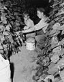 Bean pickers, Linn County, 1946 (5764856709).jpg