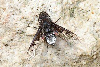 Anthracinae