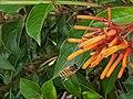 Bee and orange flower 11.jpg