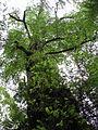 Beech tree, Tarra Bulga N.P..jpg