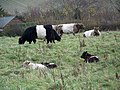 Belted Galloway cattle, Bishopstone - geograph.org.uk - 1047599.jpg