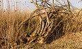Bemoste, geteisterde boomstronken aan voetpad naar vogelkijkhut De Schollevaar. Locatie, Oostvaardersplassen 04.jpg