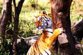 Bengal tiger with tree at Rajiv Gandhi Zoological Park, India in 2012.png