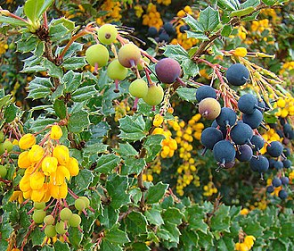 Berberidaceae - Image: Berberis darwinii from the Berberidaceae (8406231651)