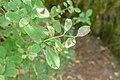 Berberis silva-taroucana in La Jaysinia (1).jpg