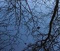 Berkentakken (Betula) met heksenbezems reflecteren bij zonsopgang in sloot. Locatie, De Famberhorst 02.jpg
