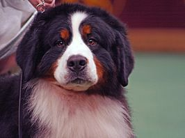 Bernese Mountain Dog (3346689641).jpg