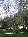 Betula papyrifera var. commutata 01-10-2005 14.44.22.JPG