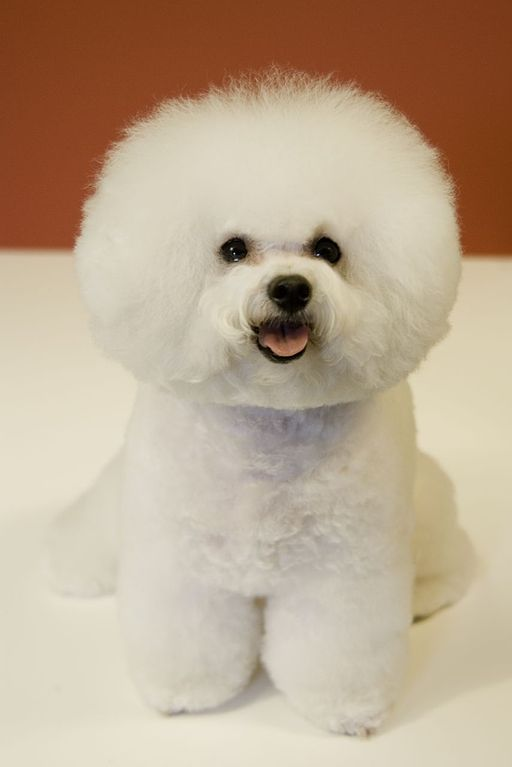 Bichon Frise red background