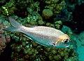 Bigeye emperor, Monotaxis grandoculis at Sataya Reef, Red Sea, Egypt -SCUBA (6395392025).jpg