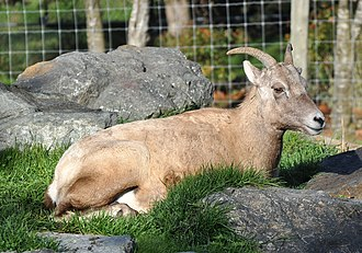 Bighorn sheep - Captive female (ewe) bighorn sheep
