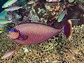 Bignose unicornfish (Naso vlamingii) (47780682291).jpg