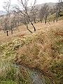 Birches, Coire Liath - geograph.org.uk - 279822.jpg