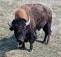 Bison (2917614798).jpg