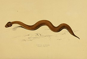 Description de l'image Bitis inornata.jpg.