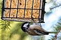 Black-Capped Chickadee 3370 (4990595201).jpg