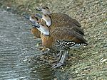 Black-billed Whistling Duck (Dendrocygna arborea) (2).JPG