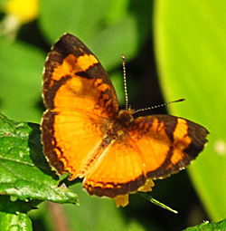 Black-bordered Tegosa.jpg