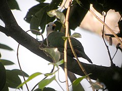 Black-chinned Fruit-Dove (1805679028).jpg