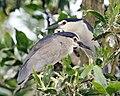 Black-crowned Night Heron (Nycticorax nycticorax), Yong Peng, Johor, Malaysia.jpg