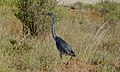 Black-headed Heron (Ardea melanocephala) juvenile (6447490535).jpg