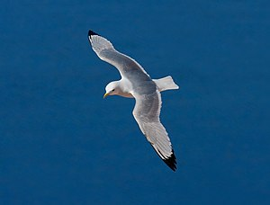 Black-legged kittiwake - Image: Black legged Kittiwake
